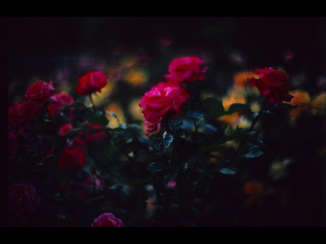 バラの咲き乱れる